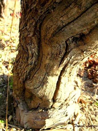 taille-des-vignes-003-1